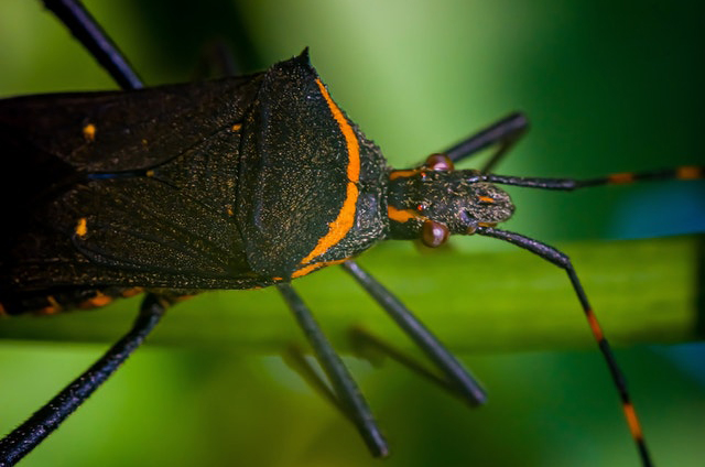 The kissing bug carries disease-causing parasites that are incredibly harmful to the human body. Photo by Macro on Pexels.