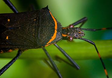 Southern United States' 'Kissing Bug' Deadly to Humans