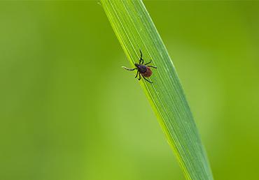 Babesia: The Stealth Parasite